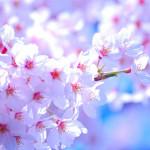 2015年の春がやってきた!ということで、「桜」の演歌をまとめてみました。
