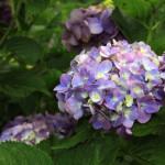 2014年の梅雨がやってきた!ということで、「紫陽花」の演歌をまとめてみました。